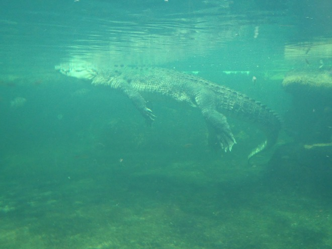 surfacing-crocodile-327212_1920